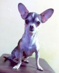 Sick Chihuahua